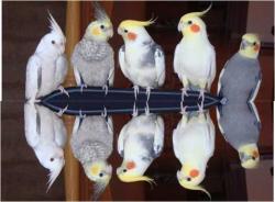 Корелла - птенцы выкормыши