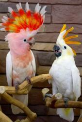 Какаду ручные птенцы из питомника
