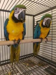 Ара сине - желтый птенцы выкормыши