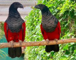 Грифовый или щетиноголовый попугай Psittrichas fulgidus
