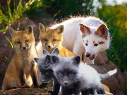Лисы - лисята - лисицы