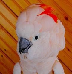 Молуккский какаду Cacatua moluccensis ручные птенцы