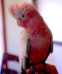 Розовый какаду Eolophus roseicapilla ручные птенцы