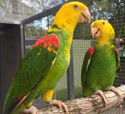 Желтоголовый амазон Amazona oratrix ручные птенцы