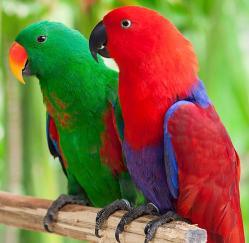 Благородный попугай Eclektus roratus ручные птенцы из ...