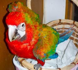 Тропикана гибрид попугаев ара - птенцы из питомника