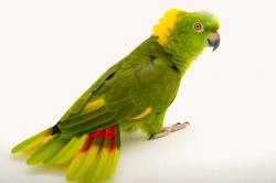 Желтошейный амазон amazona auropalliata - ручные птенцы