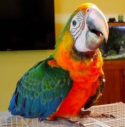 Каталина гибрид попугаев ара - ручные птенцы из питомника