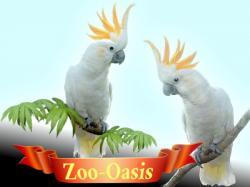 Какаду желтохохлый птенцы выкормыши