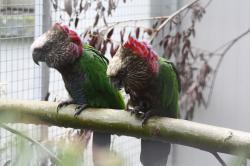 Веерный попугай - птенцы от заводчика