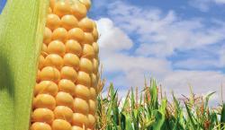 Продаем большим оптом семена Пшеницы, подсолнух, Бобовые,...