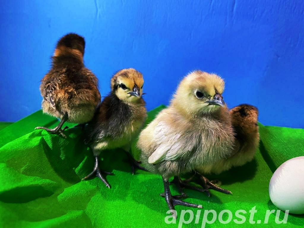 Цыплята породы Люйкэданьцзи, Ухэйилюй, Амераукана - ЛМС