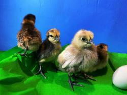 Цыплята породы Люйкэданьцзи, Ухэйилюй, Амераукана