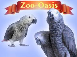Жако - птенцы выкормыши