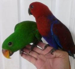 Эклектус или благородный попугай