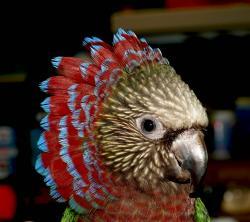 Веерный попугай - ручные птенцы